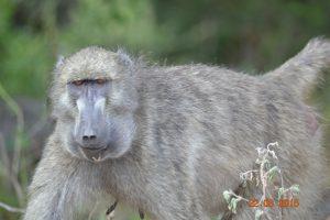 Een baviaan op enkele meters afstand