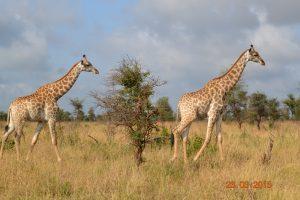 Ook de giraffen wandelden voorbij