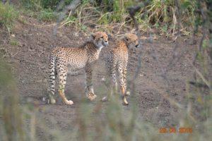 Toch eerder uitzonderlijk dat we de cheeta's van zo dichtbij zagen!