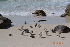En dan opeens een kolonie pinguins……